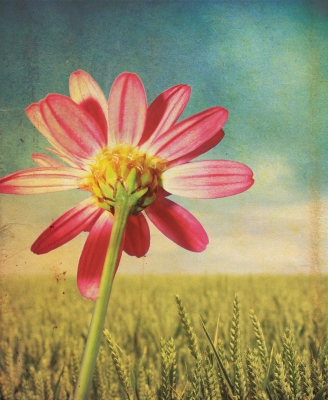 daisy by Simon Howden freedigitalpics.net